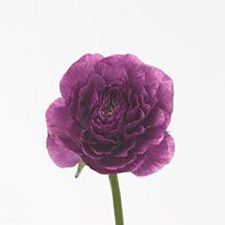 Purple Ranunculus are available again - just in time for spring weddings! Ordering wholesale flowers for weddings and events is a great way to save money! Shop wholesale flowers and wedding flowers - including Ranunculus - online at www.GrowersBox.com.