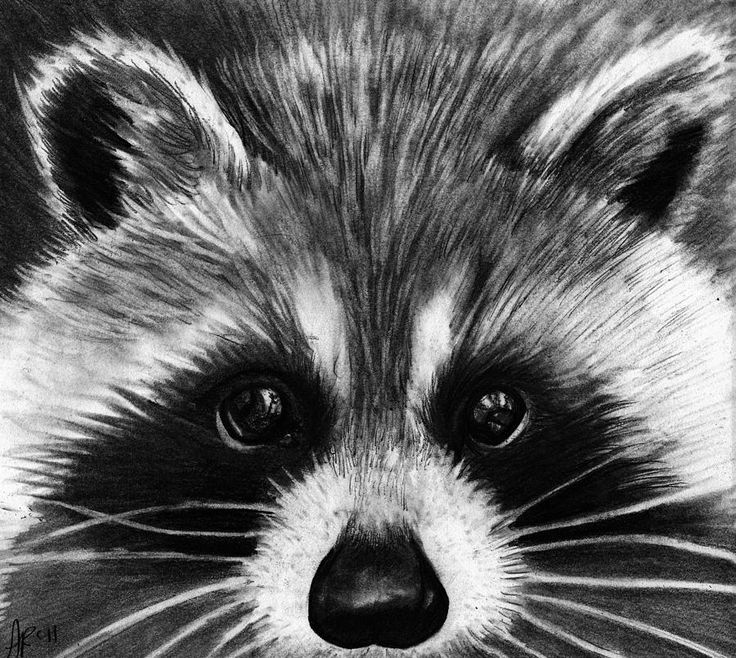 Raccoon Print by Alycia Ryan Raccoon Drawing