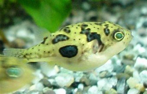 Puffer fish pets pinterest for Fresh water puffer fish