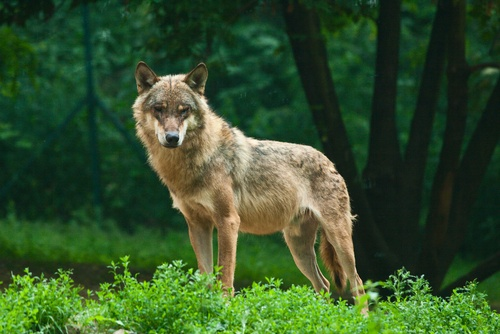 Check out a wolf howl in Ontario's Highlands at the Haliburton Forest and Wildlife Reserve.  http://haliburtonforest.com/