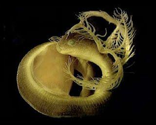 Larval Caecilian Reptiles & Amphibians Pinterest