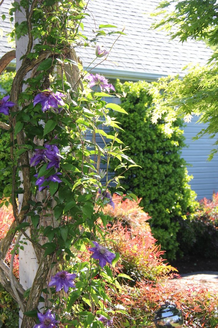 Virginia Beach Gardener: Clematis
