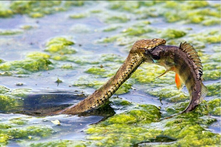Snake eating a spined fish in bulgaria zany pinterest for Snake eating fish