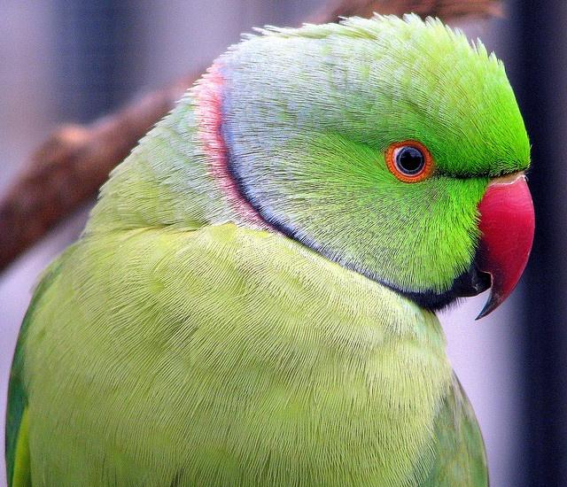 African ringnecked parrot. | Birds * Ringneck | Pinterest