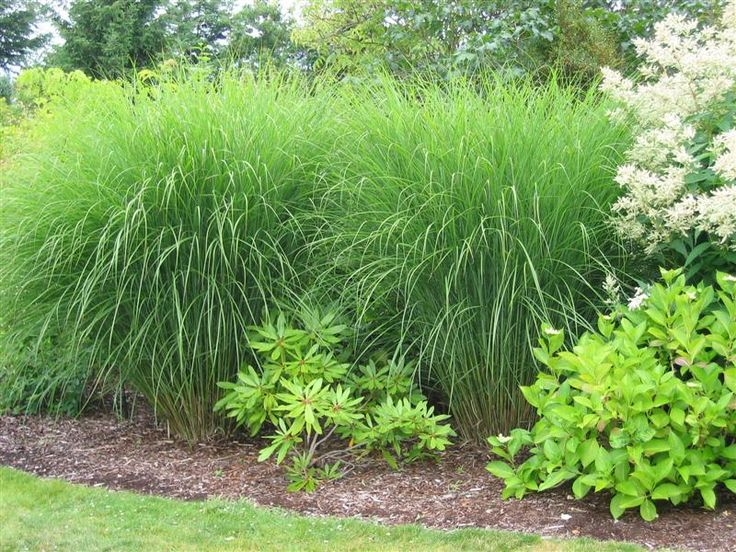 miscanthus 39 gracilimus 39 ornamental grass pinterest. Black Bedroom Furniture Sets. Home Design Ideas