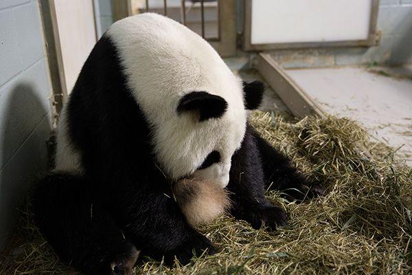 Zoo Atlanta Panda Cam | Beautiful Animals | Pinterest