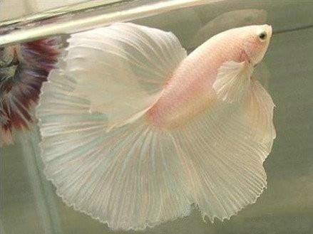 Fish tail fish beautiful - photo#2