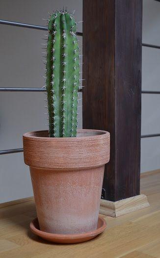 cactus in terracotta pot succulents cacti pinterest. Black Bedroom Furniture Sets. Home Design Ideas