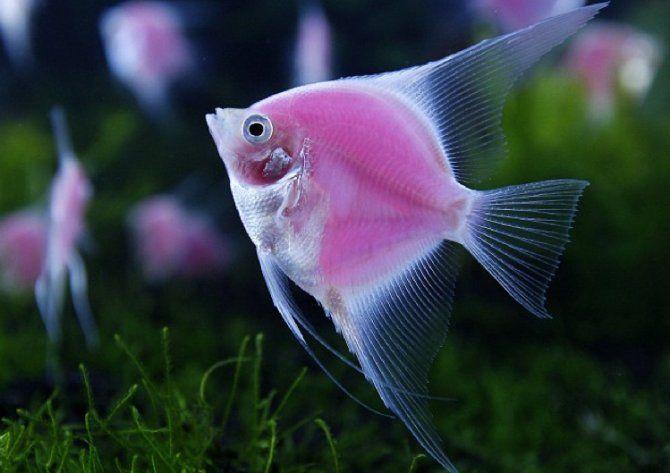 Fluorescent Angelfish | Under The Sea | Pinterest