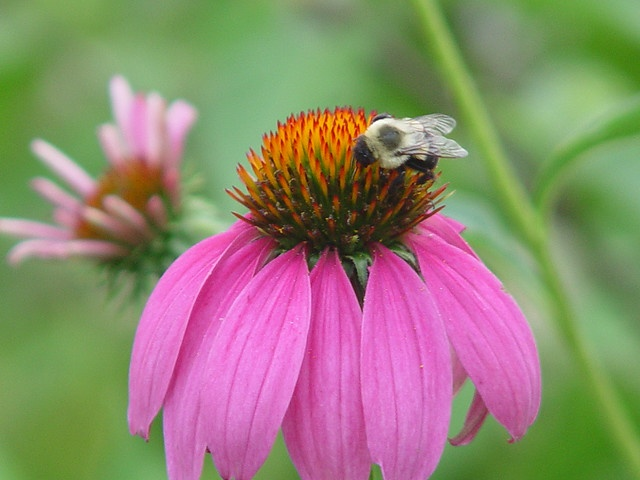 This bee is a camera whore by beaunoir, via Flickr