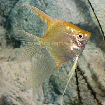 Gold veil angel fish pin it now sort it later pinterest for Fish compatible with angelfish