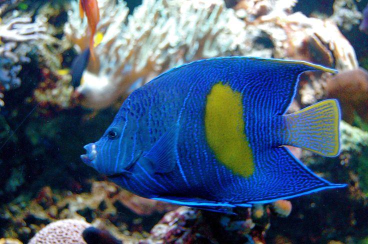 Pomacanthus maculosus:...