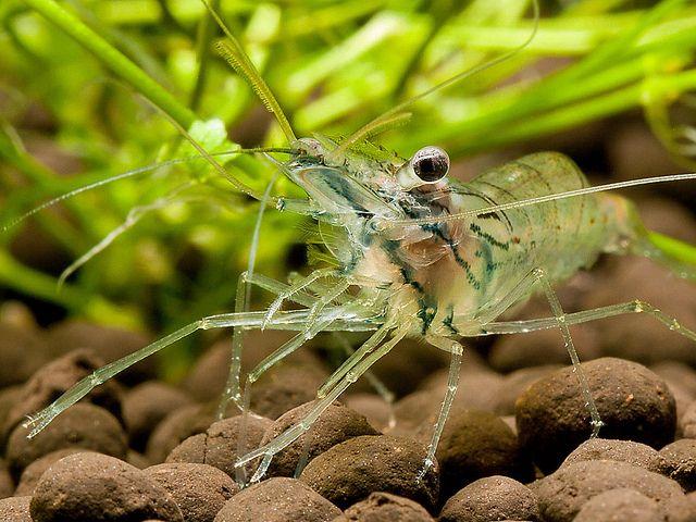 Palaemonetes paludosus (Ghost Shrimp) My New Hobby Pinterest