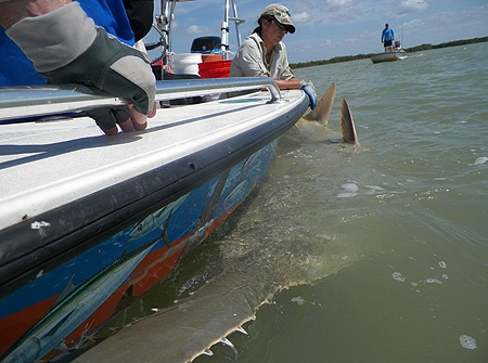 Researchers tag record number of endangered sawfish: Research team members help restrain a small-toothed sawfish for tagging during the research team's March visit to Florida Bay. © Photo by Jim Wilcox