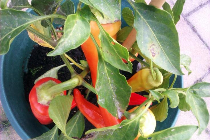 paprika plant wwwimgkidcom the image kid has it