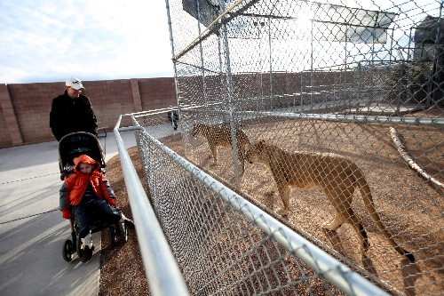 Mgm grand cats find room to roar in henderson at lion habitat ranch