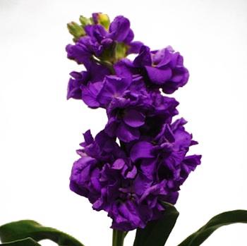 Purple Stock Flowers Bouquets Pinterest