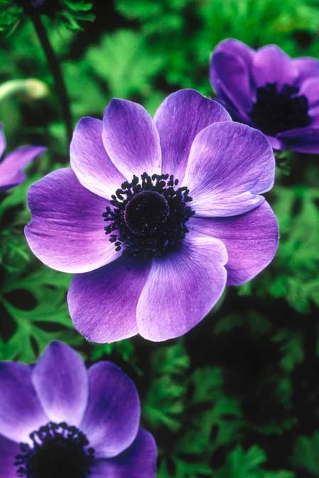 Anemones Flower Garden Pinterest