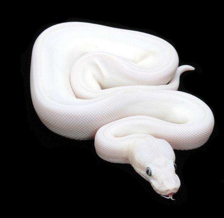 Blue Eyed Leucistic Ball Python | Snakes | Pinterest