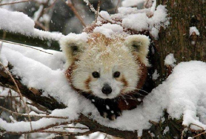 red pandas in the wild