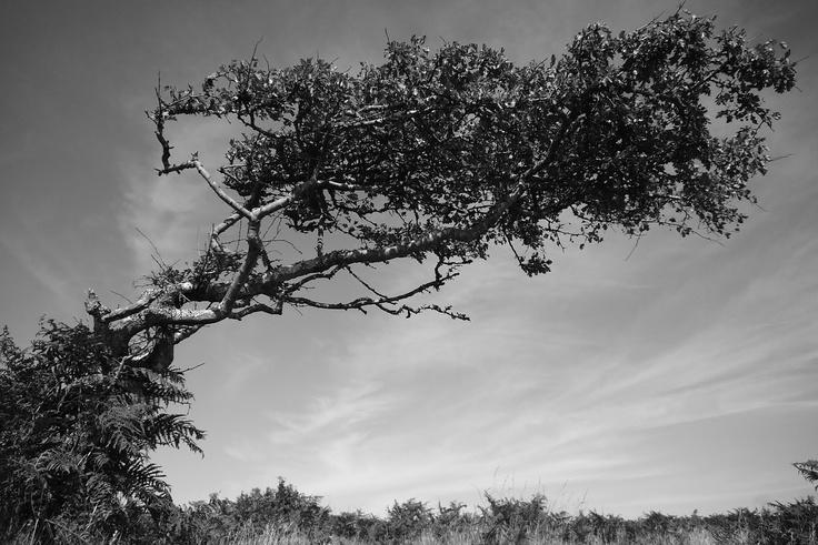 blackthorn tree - photo #44