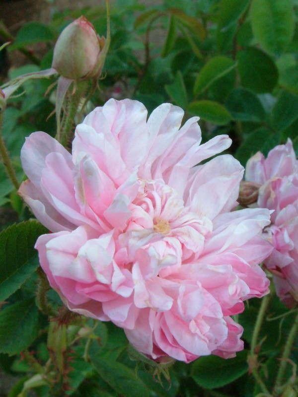 Omar Khayyam  Damascos  rosas velhas do jardim  Rose Catálogo