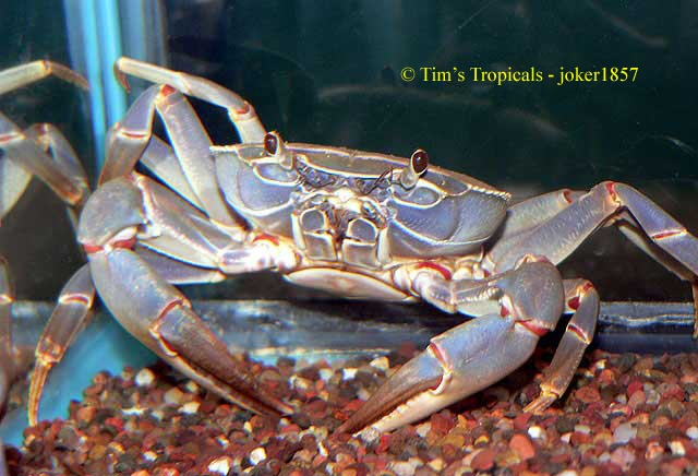 ... freshwater invertebrate photo from Tropical Fish and Aquariums