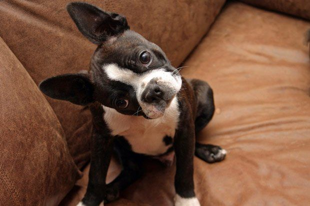 Small Apartment Dog Breeds
