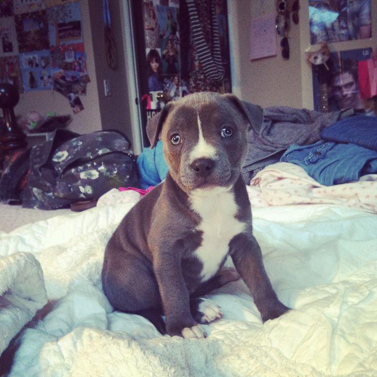 Blue nose pitbull puppy | Too Cute | Pinterest