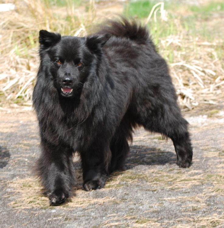 Pin by Dog Breeds on Swedish Lapphund | Pinterest