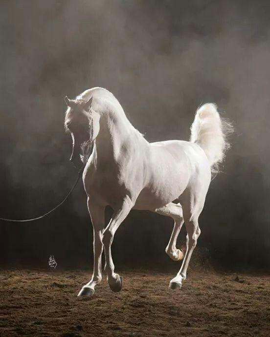 Beautiful white arabian horses