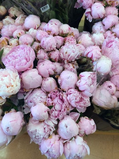 Peonies Season Pleasing Of Peony Flowers Season Image