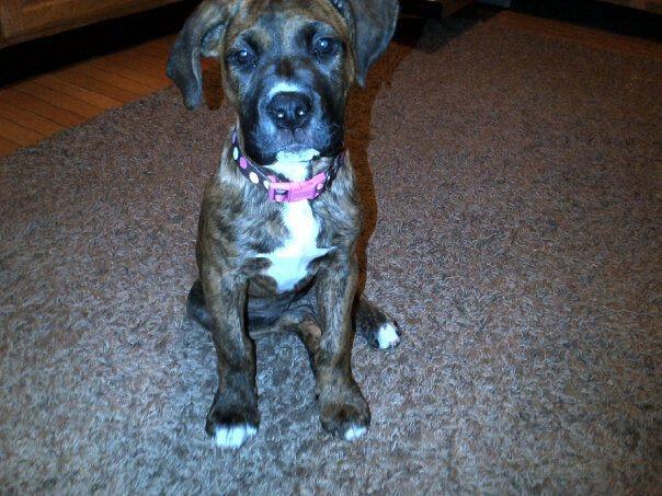 French mastiff pitbull mix | Puppies/Animals | Pinterest