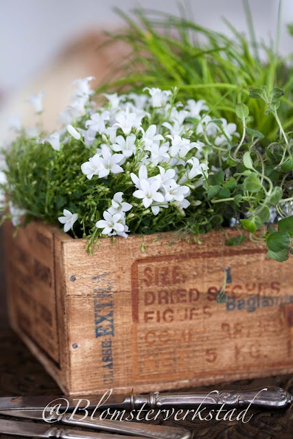 great old wooden box...white campanula together with herbs