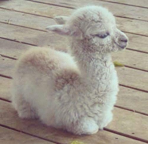 fluffy baby llamas wwwimgkidcom the image kid has it