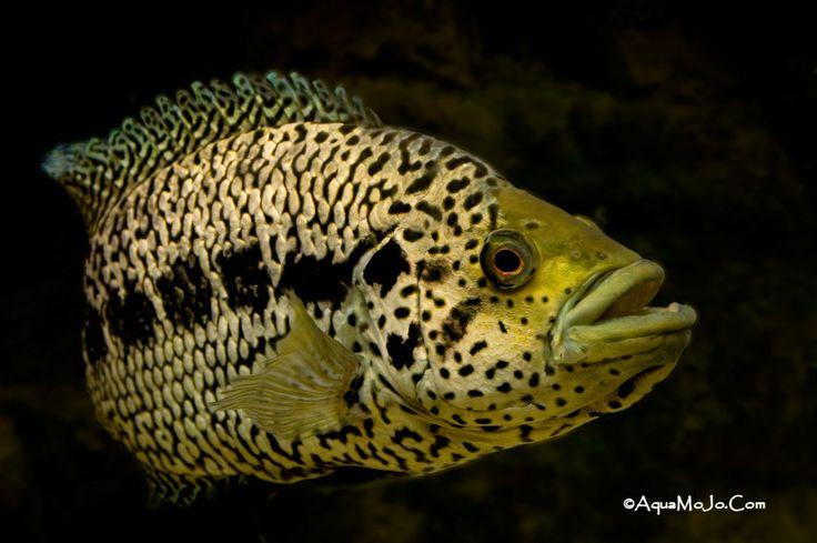 Jaguar cichlid..... Nandopsis managuense Sick Cichlids Pinterest