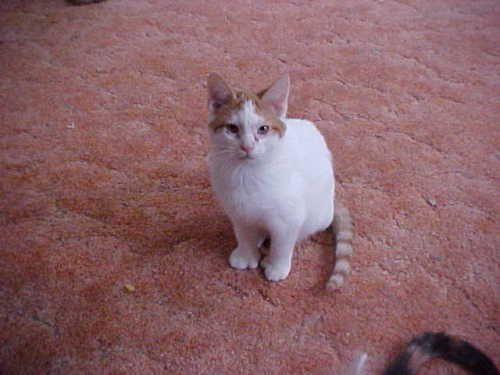 Extra-Toes Cat  Hemingway Polydactyl   amp  Domestic Short Hair - orange    Orange Polydactyl Cat