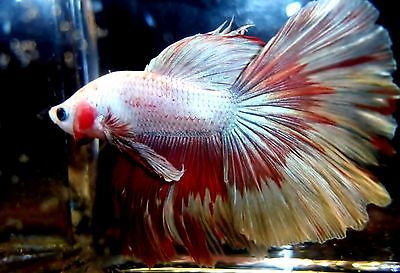 Live betta fish imported rare 4x butterfly halfmoon mohawk for Rare types of betta fish