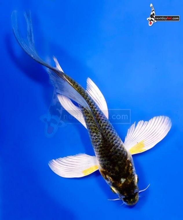 Ochiba koi and gold fish pinterest for Ochiba koi fish