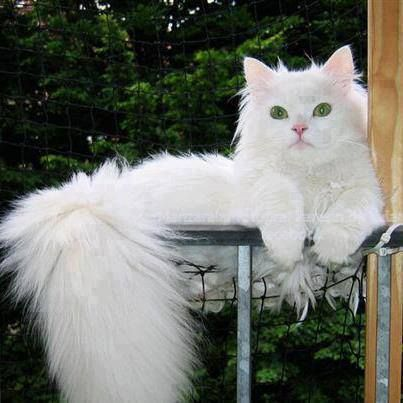 White Long hair cat | Black and long haired cats | Pinterest