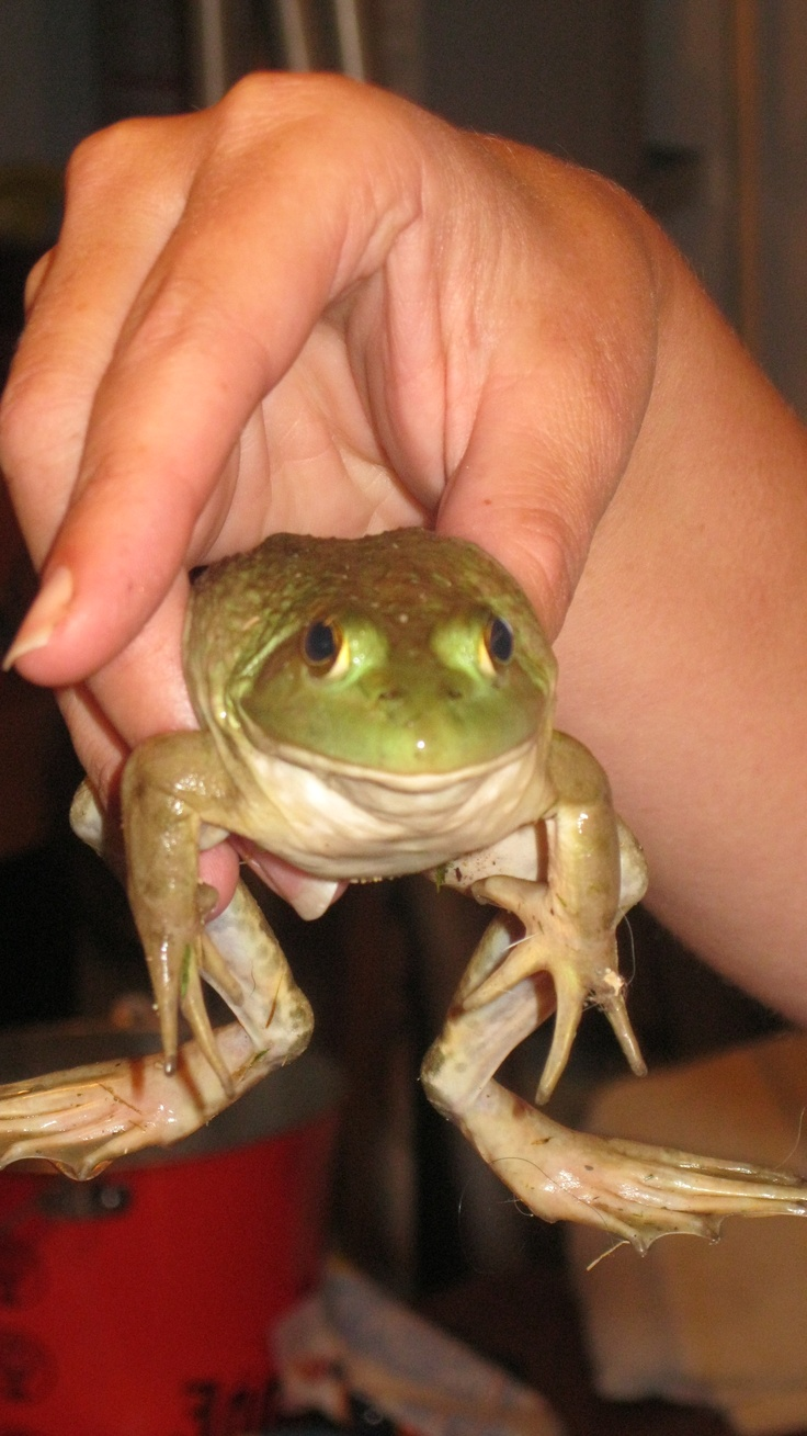 frog i found in my back yard little critters pinterest