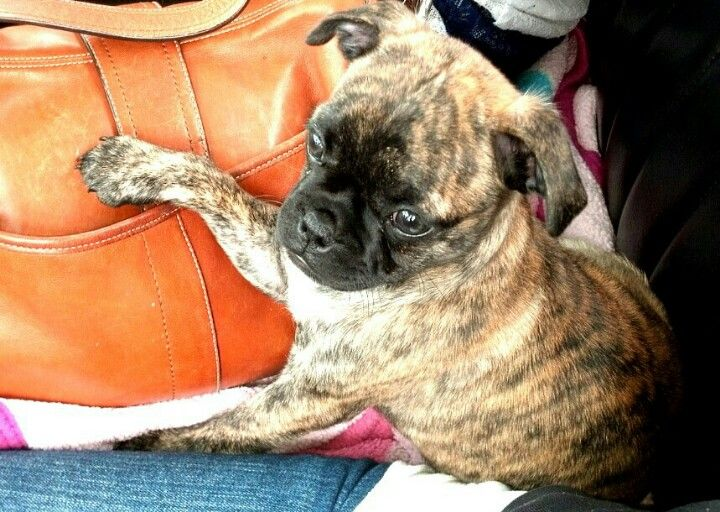 perfect little Apricot Brindle BUGG puppy