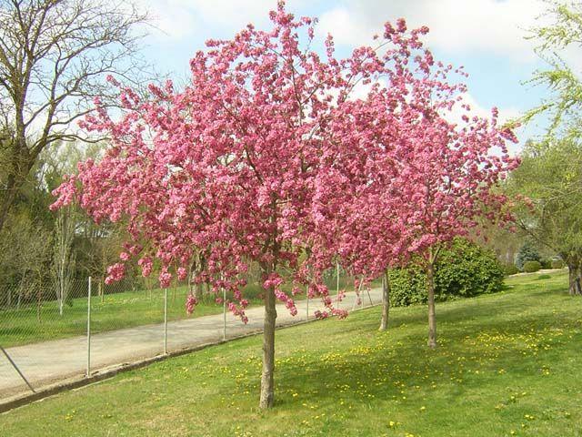 malus floribunda manzano de flor plantas pinterest