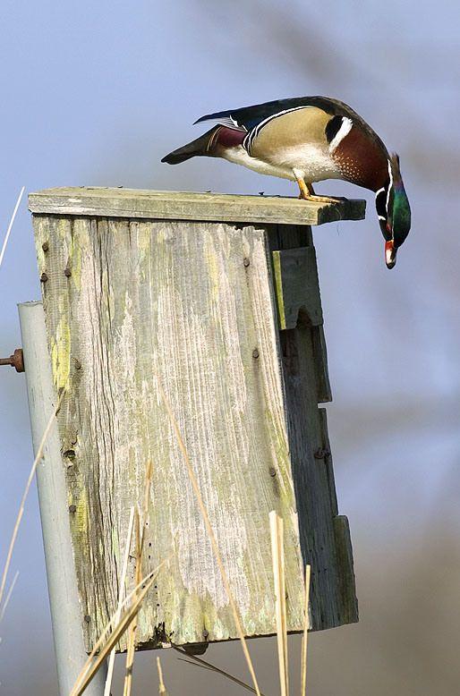 Wood Duck House Plans Permaculture Pinterest