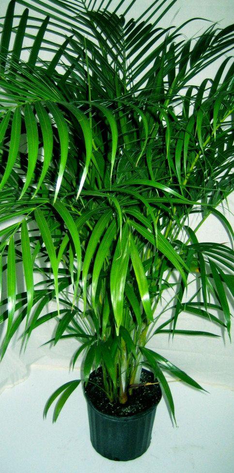 Areca Palm 4 Pot Tropical Patio Palm Tree Live Plant