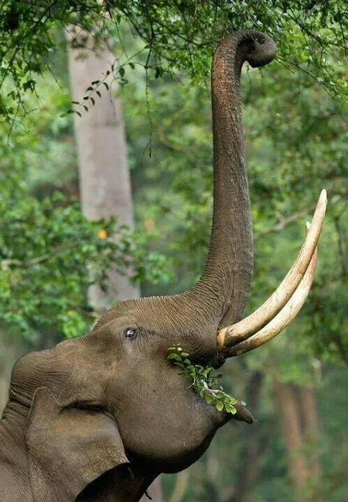 Elephant eating.