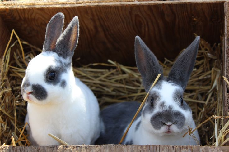 broken blue Mini Rex | Desperately Seeking Speckles ...