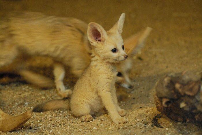 Cute Baby Fennec Fox   Critters   Pinterest Fennec Fox Newborn
