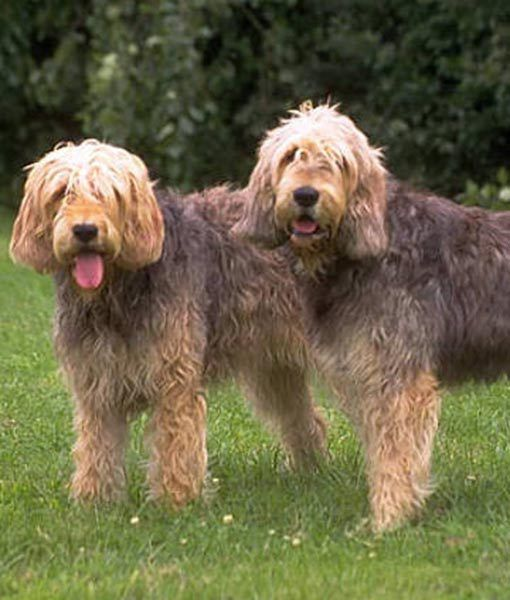 The large, shaggy Otterhound is an extremely rare breed