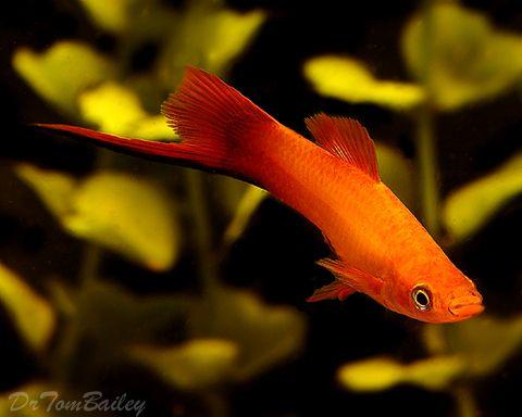 swordtail fish Dream Freshwater Aquarium Pinterest